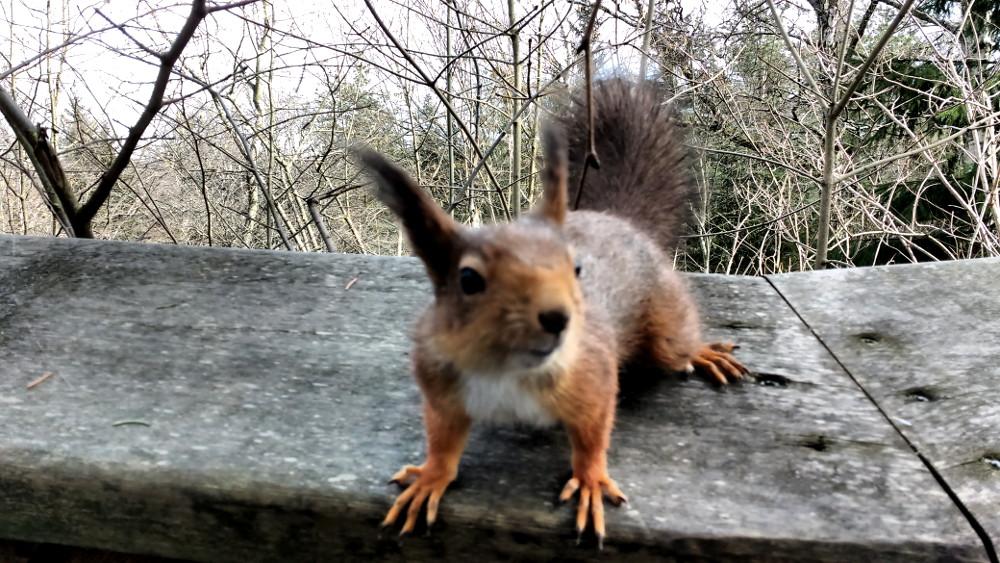 Ecureuil au Skansen Garden. Trop mignon ces petites bêtes !